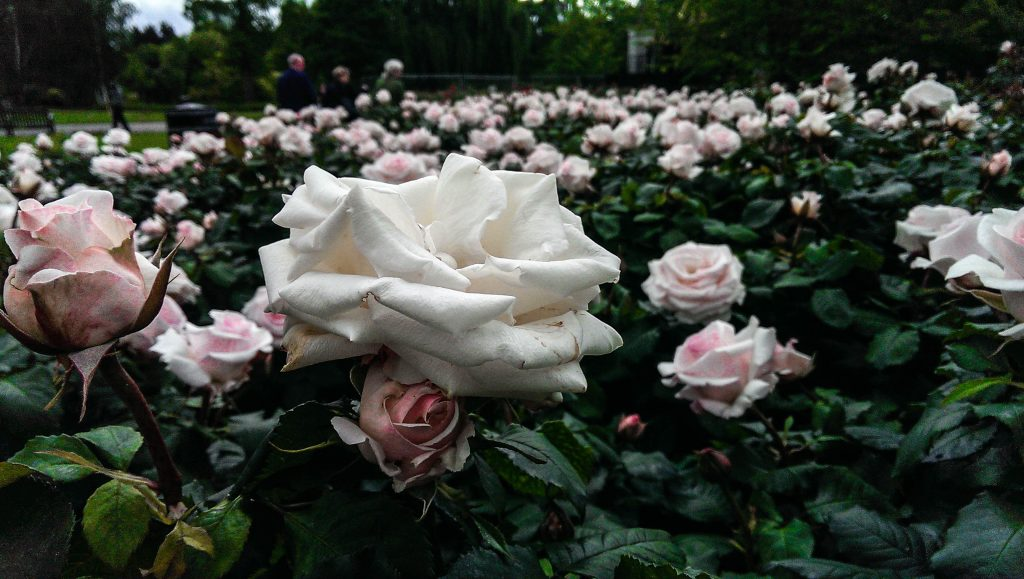 Regent's park - Roses blanches